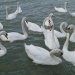 Zemunska razglednica: Priča o labudovima, dobroti i herojima